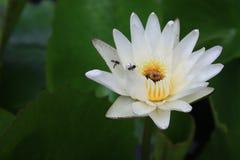 Flor de loto blanco con las abejas Imágenes de archivo libres de regalías