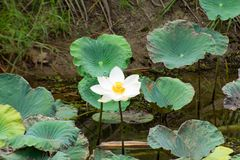 Flor de loto blanco con polen amarillo Es como una abeja Fotografía de archivo libre de regalías