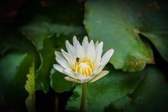 Flor de loto blanco con una abeja en jardín Imagen de archivo libre de regalías