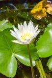 Flor de loto blanco en el estanque de peces Fotografía de archivo libre de regalías