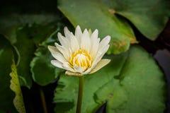 Flor de loto blanco en jardín Fotos de archivo