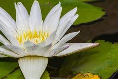 Flor de loto blanco floreciente Fotografía de archivo