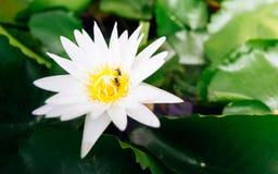 Flor de loto blanco hermosa Imágenes de archivo libres de regalías