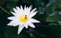 Flor de loto blanco hermosa Imagenes de archivo