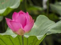 Flor de loto china Fotografía de archivo libre de regalías