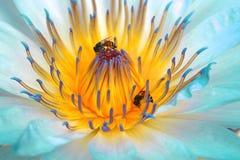 Flor de loto de la turquesa Foto de archivo libre de regalías