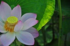 Flor de loto del campo de Lotus Imagen de archivo