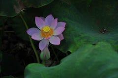 Flor de loto del campo de Lotus Imagenes de archivo