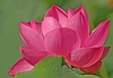 Flor de loto del color de rosa caliente imagen de archivo