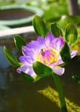 Flor de loto del flor con la abeja Fotografía de archivo