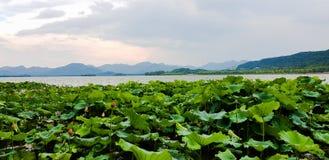Flor de loto del oeste del lago fotos de archivo libres de regalías