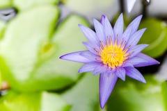 Flor de loto del primer Foto de archivo libre de regalías