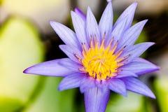 Flor de loto del primer Foto de archivo