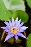 Flor de loto del primer Fotografía de archivo