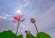 Flor de loto dos para asolear las estrellas Imagenes de archivo