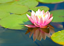 Flor de loto en el agua imágenes de archivo libres de regalías