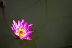 Flor de loto en el lago Imagenes de archivo