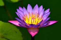 Flor de loto, en la plena floración Imagen de archivo libre de regalías