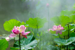 flor de loto en la plena floración en la llovizna fotografía de archivo