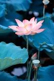 Flor de loto floreciente fotos de archivo