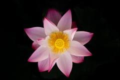 Flor de loto floreciente Imágenes de archivo libres de regalías