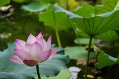 Flor de loto floreciente Fotografía de archivo