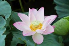 Flor de loto floreciente Fotos de archivo libres de regalías