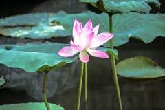 Flor de loto floreciente Fotografía de archivo libre de regalías