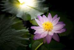 Flor de loto floreciente agradable Fotografía de archivo