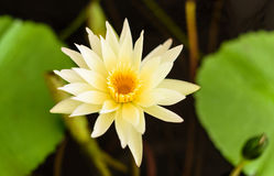Flor de loto floreciente agradable Fotografía de archivo libre de regalías