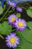 Flor de loto floreciente agradable Imagenes de archivo