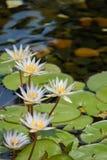 Flor de loto flotante de 5 blancos en la charca con las rocas en la tierra imagenes de archivo