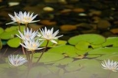 Flor de loto flotante de 4 blancos en la charca con las rocas en la tierra fotografía de archivo