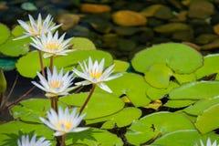 Flor de loto flotante de blancos en la charca con las rocas en la tierra fotografía de archivo libre de regalías