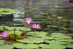 Flor de loto flotante de 2 rosas en la charca con las rocas en la tierra imagenes de archivo