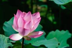 Flor de loto hermosa Imagen de archivo