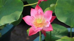 Flor de loto hermosa almacen de video