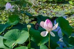 Flor de loto hermosa Imagen de archivo libre de regalías