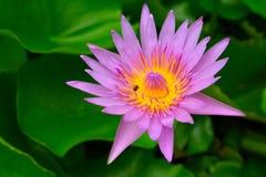 Flor de loto hermosa Foto de archivo