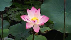 Flor de loto hermosa del verano Fotografía de archivo libre de regalías