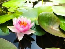 Flor de loto hermosa Ellisiana o floración de Tubtim Siam Water Lily foto de archivo libre de regalías
