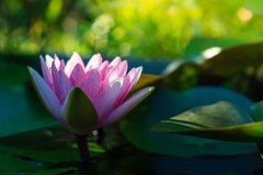 Flor de loto hermosa Ellisiana o Tubtim Siam Water Lily imagenes de archivo