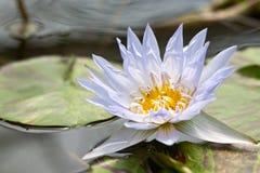 Flor de loto hermosa en fondo de la naturaleza Foto de archivo
