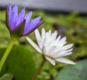 Flor de loto hermosa en jardín Foto de archivo libre de regalías