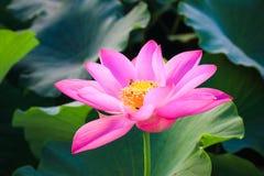 Flor de loto hermosa en la floración Imagen de archivo