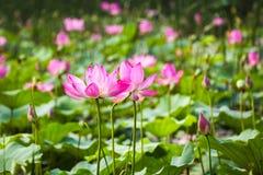 flor de loto hermosa en la floración en el verano de la charca Imágenes de archivo libres de regalías