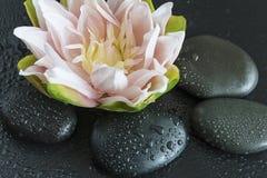 Flor de loto hermosa en piedras negras Imagen de archivo libre de regalías