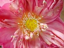 Flor de loto india del color rosado Imagen de archivo