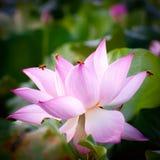 Flor de loto (loto hindú) Foto de archivo