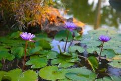 Flor de Loto Lotus blomma Arkivfoton
